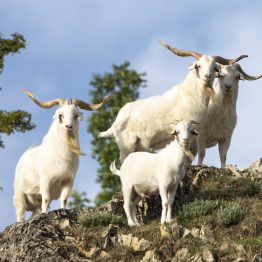 chèvres cachemire dans les hautes-alpes