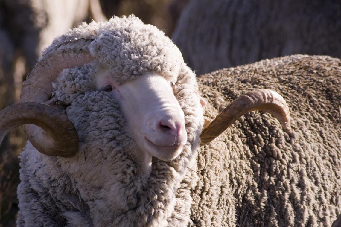 Mouton à laine mérinos