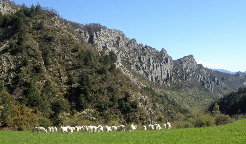 chèvres de laine cachemire